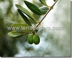 381-oliveleaves_thumb