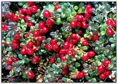 cranberries01