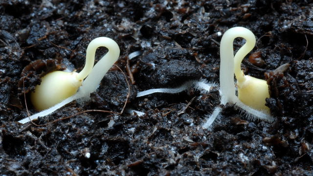 germinating-seeds-02