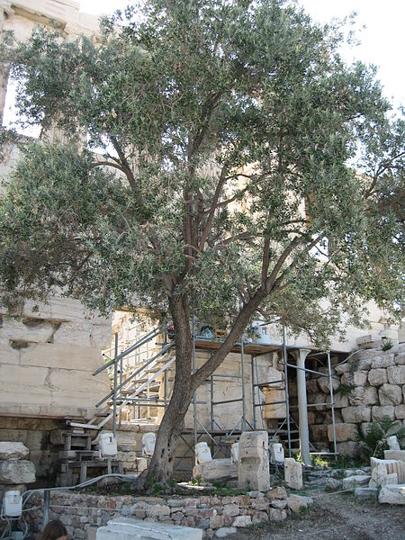 450px-Athena's_Olive_tree,_Greece,_Acropolis,_The_Parthenon