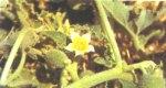 ελατήριον, πικραγκουριά