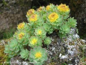 rhodiola-rosea-roseroot