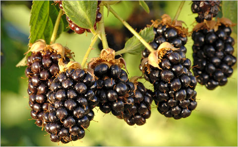 berries_480