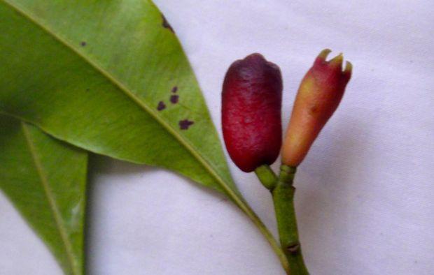 Clove-bud