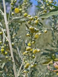 Αψιθιά (artemisia absinthium)